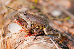 Frogs mate. Two frogs mate in the woods on a log after hibernation Royalty Free Stock Photo