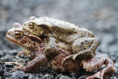 Frogs Mating Royalty Free Stock Image