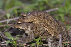 Frogs mating on a ground stock photo