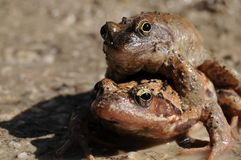 Frogs mating season. Two european common brown frogs (rana temporaria) in the mating season royalty free stock photos