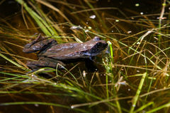 Frogs mating season Stock Photo