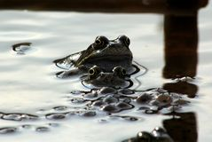 Frogs, mum, dad and the kids Royalty Free Stock Images