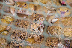 Frogs in a net Stock Images