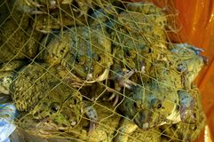 Frogs in a net. Frogs trapped in a net Royalty Free Stock Images