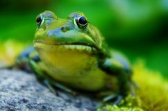 A Frogs Nose. A curious green frog stays still for his close up Stock Image