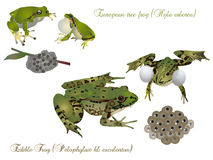 Frogs and offspring. It is illustration of frogs with offspring Royalty Free Stock Photography