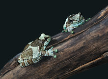 Frogs Phrynohyas resinifictris Royalty Free Stock Image