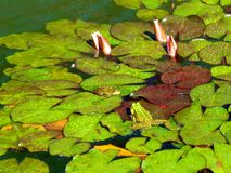 Frogs in the pond. Two frogs sitting on water lilies in a pond stock images