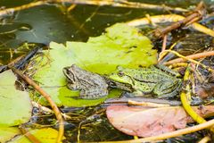 Frogs in the pond. Two frogs on leaf in the pond Royalty Free Stock Photography