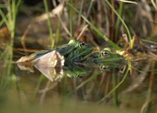 Frogs in a pond Stock Image