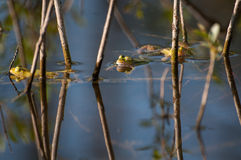 Frogs in pond Stock Photography