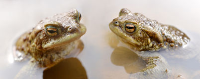 Frogs in pond. Royalty Free Stock Photos