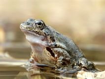 Frogs portrait in the forest pond Stock Photography