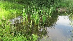 Frogs quaking, on a natural small pond with clear water, green reed, water lentils organically keeping everything clean, birds sin stock video