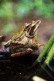 Frogs  reproduce Royalty Free Stock Images