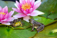 Frogs sit on lilly pad among flowers. Stock Photos