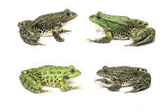 Frogs are sitting opposite each other across Stock Photo