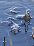 Frogs sitting in water Royalty Free Stock Photo