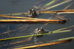 Frogs with spawn. Two frogs in a pond with spawn Stock Photos