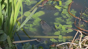 Frogs and spawn in garden pond Stock Photo