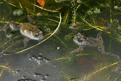 Frogs with Spawn in a Pond Stock Photography