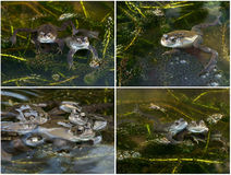 Frogs with Spawn in a Pond. A composite of frogs and spawn in a pond during the breeding season. Four high quality images for the price of one Stock Images