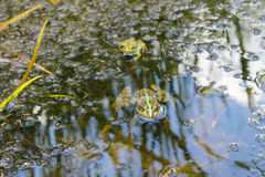 Frogs in the swamp Royalty Free Stock Photos