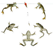 Frogs swimming around a Float Stock Image