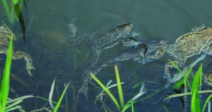 Frogs swimming in lake at spring - reproduction period. stock video