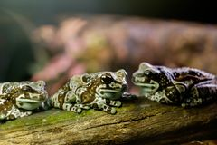 The frogs Royalty Free Stock Images