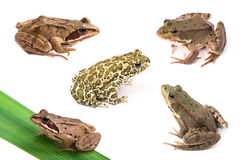 Frogs and toad isolated on white Stock Photos