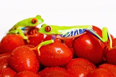 Frogs on Tomato. Two Red Eyed Tree Frogs on fresh cherry tomatoes Stock Image