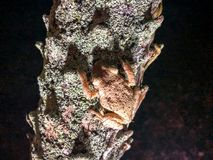 Frogs on tree. Two frog on a palm tree at night in Florida. Cuban Tree-frog & x28;Osteopilus septentrionalis& x29 Stock Photo