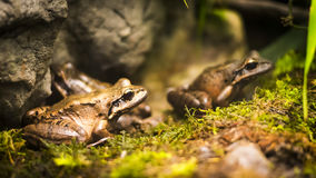 Frogs in tropical forest. Shallow DOF Royalty Free Stock Photos