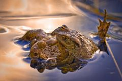 Frogs trying to mate. Some frogs are trying to mate with a female frog Royalty Free Stock Photos
