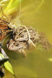 Frogs. Two frogs in the water Stock Photo