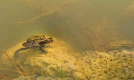 Frogs underwater (Rana temporaria) Stock Photography
