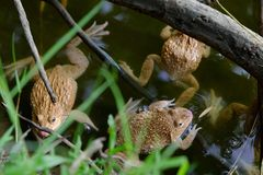 The frogs. Are waiting for something like a food Royalty Free Stock Images