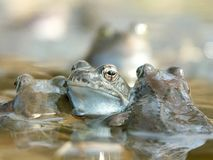 Frogs in a water. Blue frogs in the forest pond at the beginning of spring season Royalty Free Stock Photo