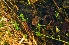 FROGS, WATER, GRASS. Frogs in the water with their eggs Royalty Free Stock Images