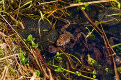 FROGS, WATER, GRASS. Frogs  in the water with their eggs Stock Photography