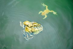 Frogs in the water - male and female reproduction period. On spring stock photography