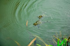 Frogs in the water - male and female during reproduction period. Frogs swimming in the water - male and female during reproduction period stock photography