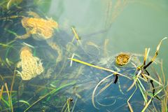 Frogs in the water - male and female reproduction period. Under the water level stock images