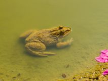 Frogs in water. Stock Image