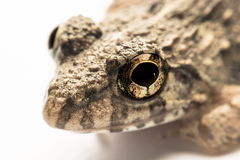 Frogs white background, Close-up, macro photos.  Stock Photos
