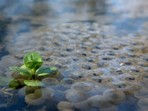 Frogspawn Stock Images