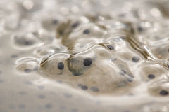 Frogspawn close up. Frogspawn in close up, eggs of the frog royalty free stock photos