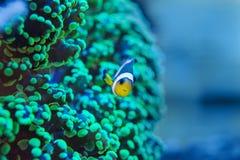 Frogspawn coral, Euphyllia paradivisa Royalty Free Stock Image