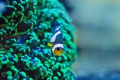 Frogspawn coral, Euphyllia paradivisa Royalty Free Stock Photos